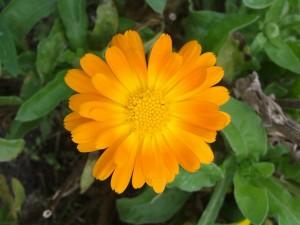 Heilpflanzen Ringelblume